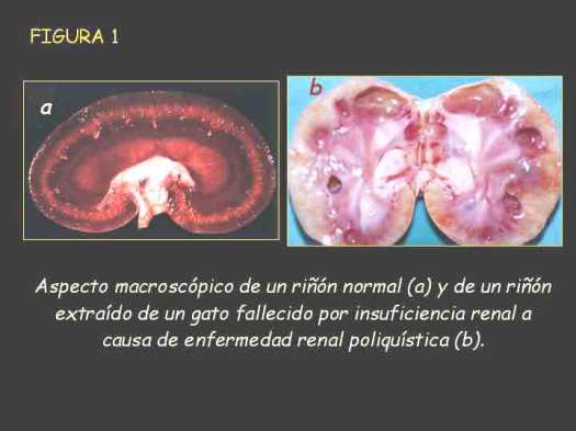 Enfermedad renal poliquística del gato