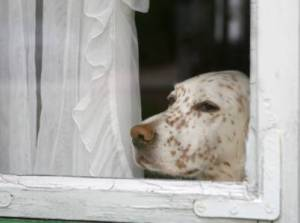 sad_dog_window-HeddaGjerpen-iStock