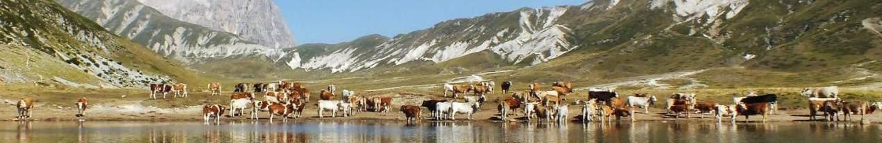 Mucche a Campo Imperatore