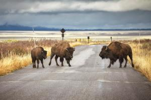 American bison family cross a road, Wyoming, USA.