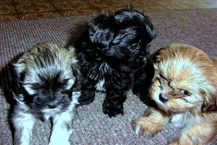 Lhasa Apsos, black or black and white Lhasa Apso, slate or blue Lhasa Apso, cream or red Lhasa Apso, white Lhasa Apso, sable Lhasa apso, tri-color Lhasa Apso.