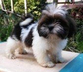 Parti-color dark sable and white Lhasa Apso puppy standing on table.