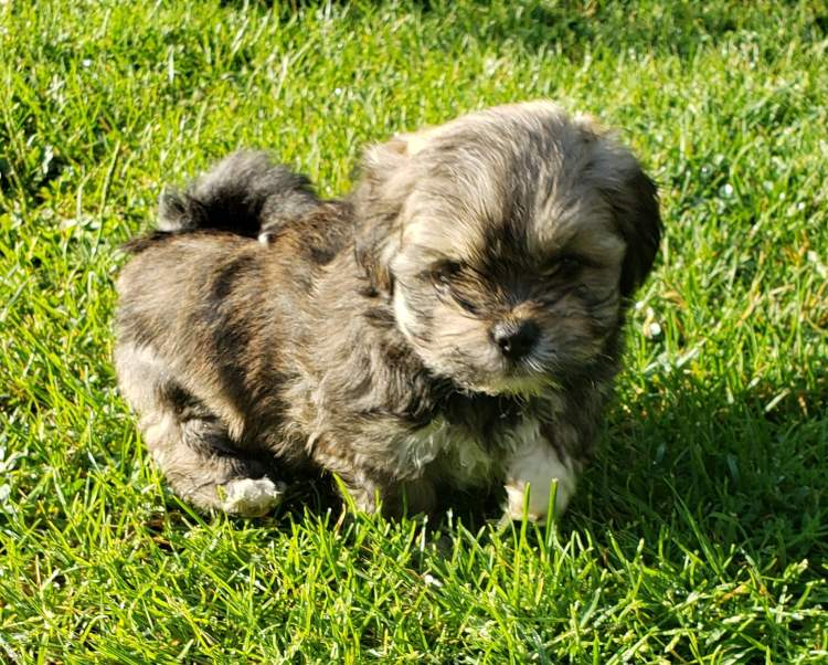 Playful Lhasa apso puppy outside in the grass.
