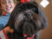 Black Lhasa apso dog owned and loved by a child. Lhasa apsos love their children!
