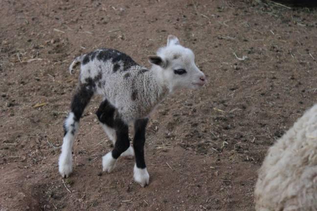 geep incrocio tra una capre e una pecora2
