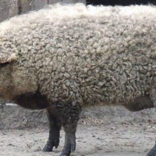 Mangalica - Il maiale che sembra una pecora