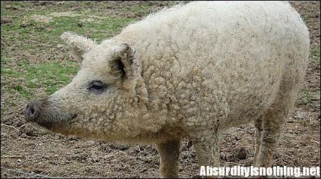 Mangalica, strano incrocio tra una pecora e un maiale