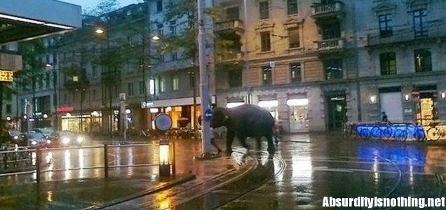 Elefante passeggia per le strade di Zurigo