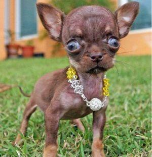 Molly, il cane più piccolo del mondo