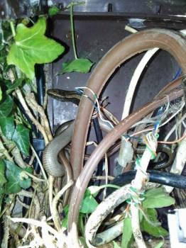 Rettili aggrovigliati tra i cavi