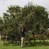 Da vent'anni coltiva un albero con 250 tipi di mele (3)
