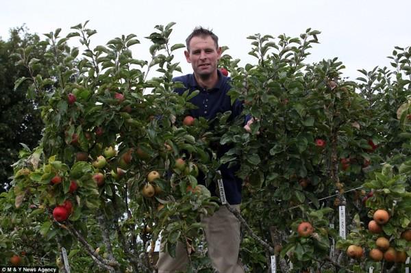 Da vent'anni coltiva un albero con 250 tipi di mele (1)
