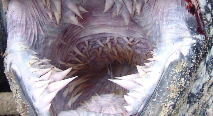La bocca più spaventosa del mondo? Appartiene alla tartaruga liuto (2)