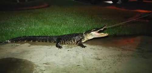 Alligatore bussa alla porta