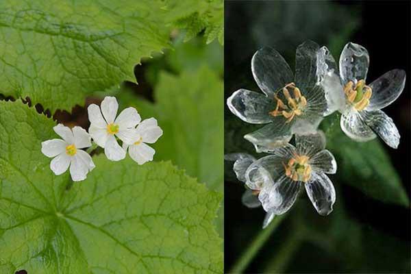 Diphylleia grayi, il fiore i cui petali diventano trasparenti quando piove (1)
