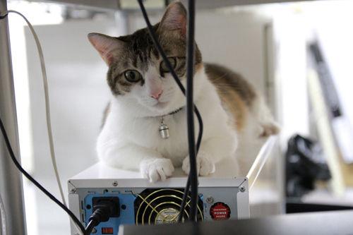 Azienda giapponese riempie l'ufficio di gatti per far rilassare i dipendenti (1)