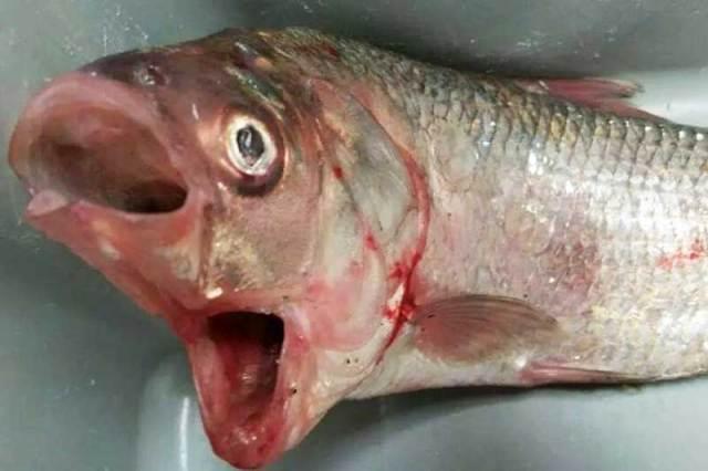 Trovato un pesce con due bocche in un lago australiano (1)