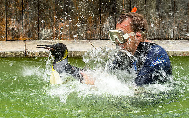Charlotte, la pinguina che ha paura dell'acqua prende lezioni di nuoto