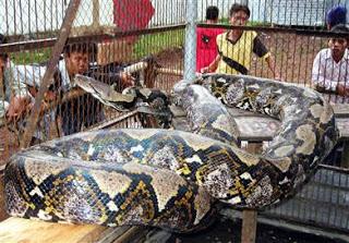 Il pitone più lungo del mondo scoperto in Indonesia