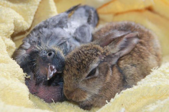 coniglietto-piccione-inseparabili