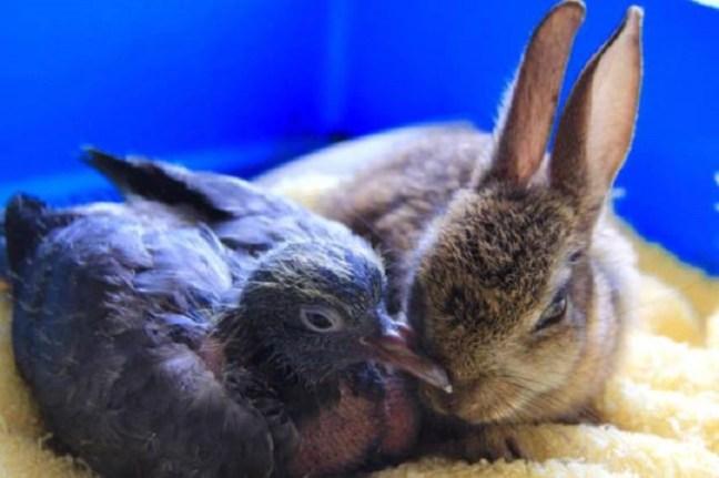 cuccioli-coniglietto-piccione-inseparabili