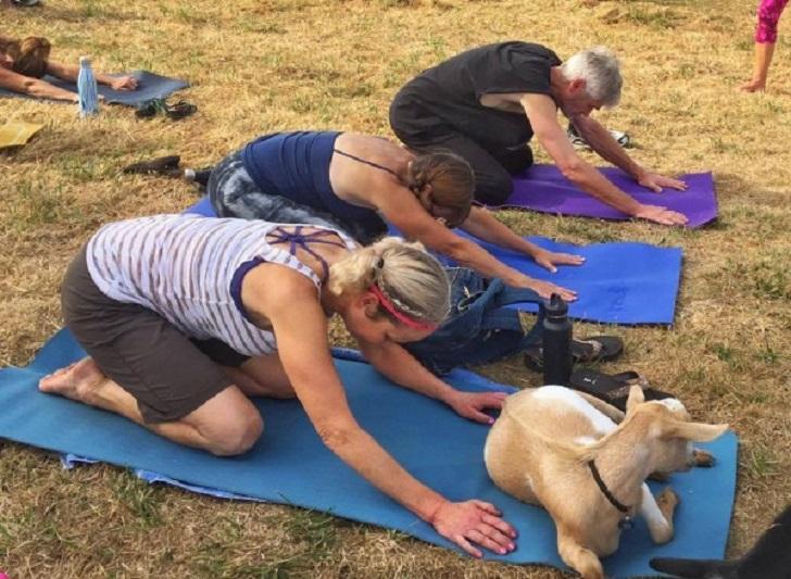 Goat Yoga, lo yoga con le capre che funge anche da pet therapy