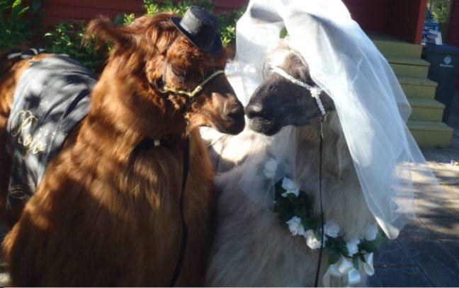 lama-matrimonio