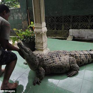 Kojek, il coccodrillo domestico che vive con una famiglia indonesiana