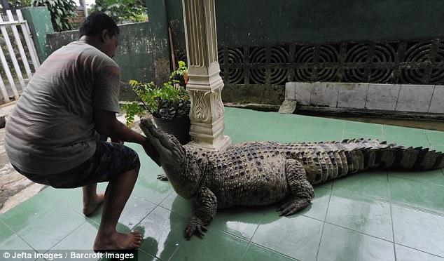 coccodrillo-domestico