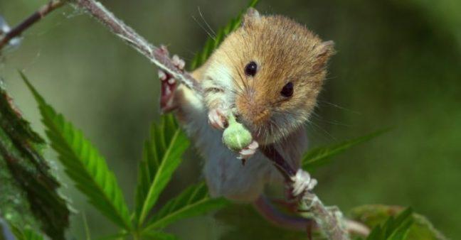 ratti-mangiano-marijuana