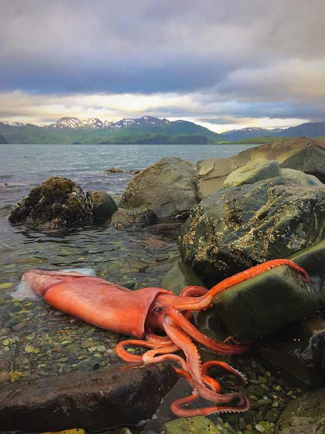 calamaro-gigante-2