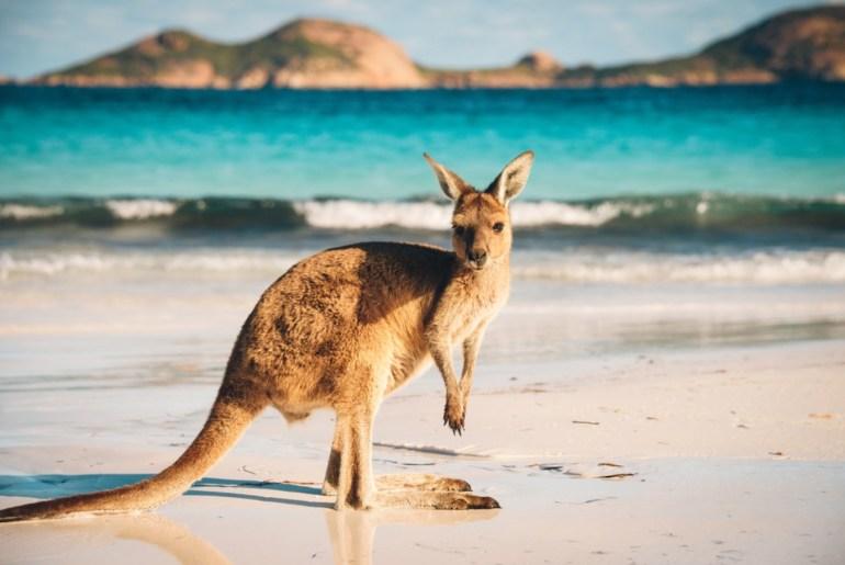 absurdizi.com avustralya kanguru