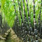 How To Start Lucrative Sugarcane Farming In Ghana, Kenya, Nigeria etc.