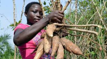 Cassava farming business