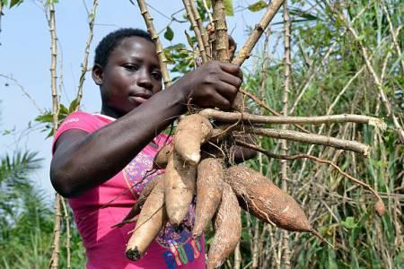 Cassava Farming Business In Kenya (Africa)