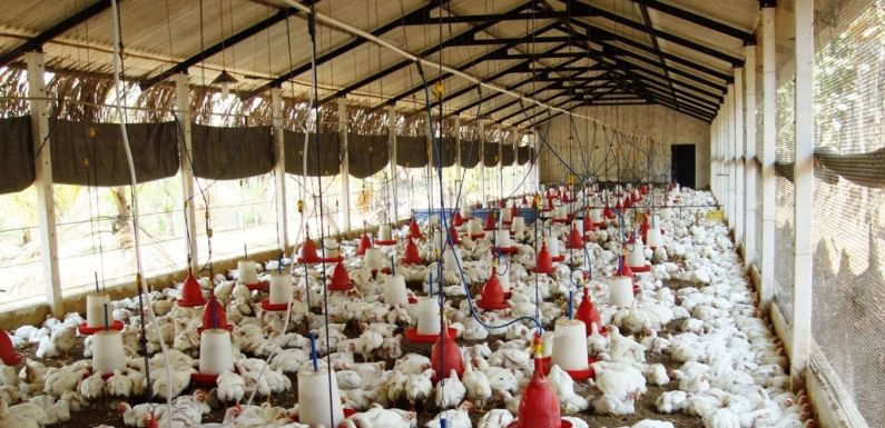 How To Start Profitable Poultry Farming In South Africa, Morocco And Egypt