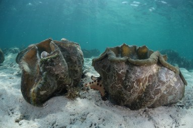 A pair of T. gigas attracting starfish and sea urchins