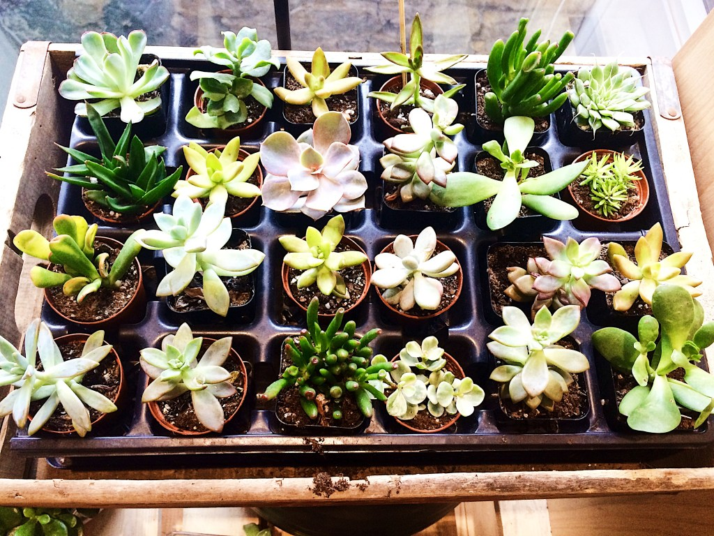 Apartment and Dorm Room Spring Style: Sucker for Succulents
