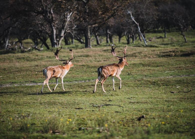 jeleni covid