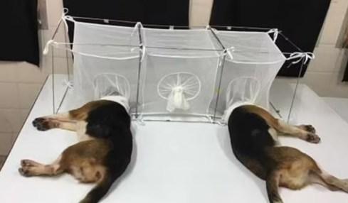 fauci experiment štěňata