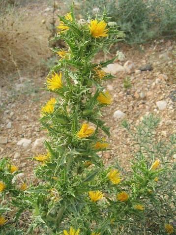 Tagarnina en flor, su nombre botánico es scolymus hispanicus