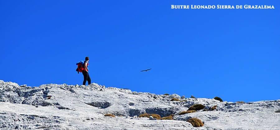 Vulture-Sierra-de-Grazalema