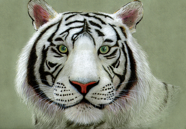 tigre blanco edu web