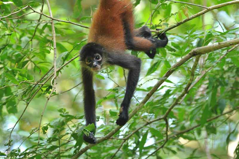 Costa Rican spider monkey hanging from a tree