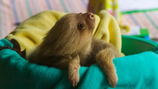 Volunteer with sloths at Animal Rescue Centers in Costa Rica