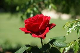 Rabia Basri Menyuburkan Mawar yang Layu
