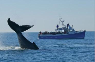 Une baleine noire s'offre en spectacle. - Archives