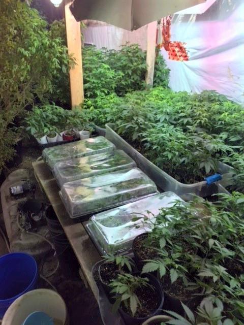 Des centaines de plants ont été découverts dans une résidence de Shediac. - Gracieuseté: GRC