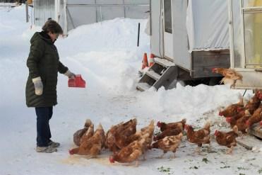En agriculture biologique, l'alimentation des animaux est contrôlée de près. - Acadie Nouvelle: Simon Delattre
