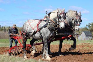 On n'avait plus vu de chevaux de trait à l'oeuvre depuis des années dans la région. - Acadie Nouvelle: Simon Delattre